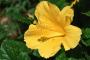 ハワイの州花はなに?花言葉は?